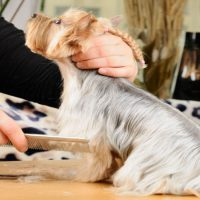 Doing Pet Grooming in Everett To Remove Fleas From A Dog