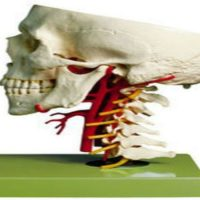 Detail Requirements In Anatomy Models